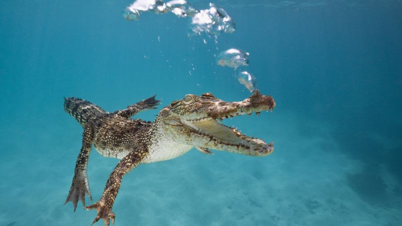 Crocodile, Calf, Swim, Underwater, Bubbles (horizontal)