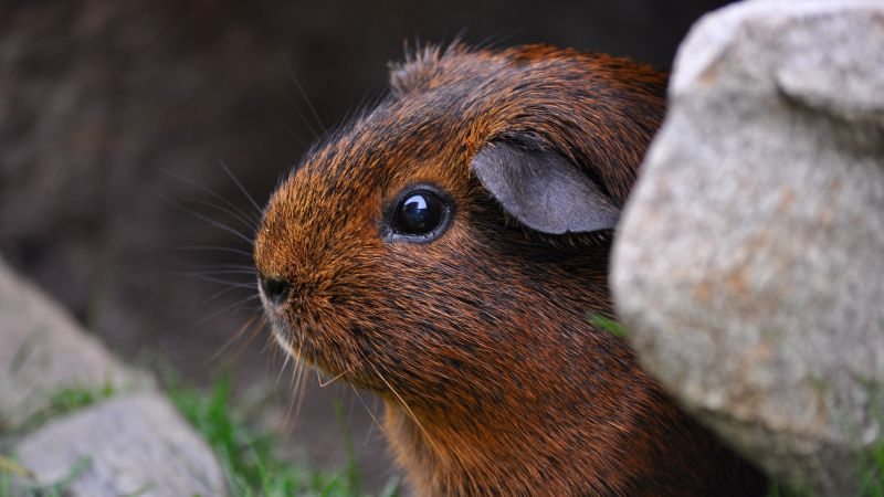 Guinea Pig, brown, cute animals (horizontal)