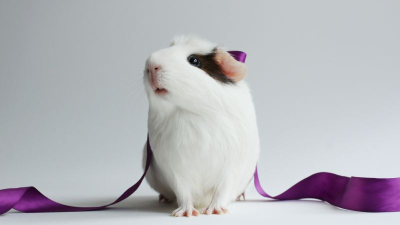 Guinea Pig, champion pig, white (horizontal)