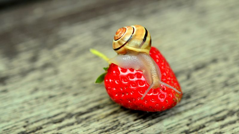 snail, nature, strawberry (horizontal)
