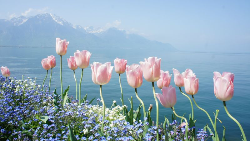 tulip, 4k, HD wallpaper, spring flowers, mountains (horizontal)
