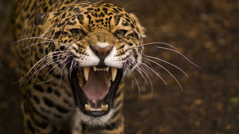 jaguar, wild, cat, face, teeth, rage, anger, jaws, teeth (horizontal)