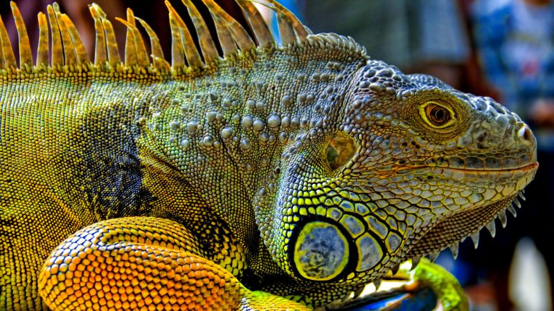 Green Iguana, reptiles, nature, lizard (horizontal)