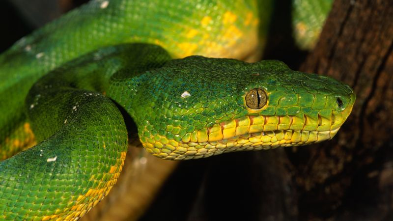 Python, Singapore, zoo, Emerald, Green, snake, eyes, close-up (horizontal)