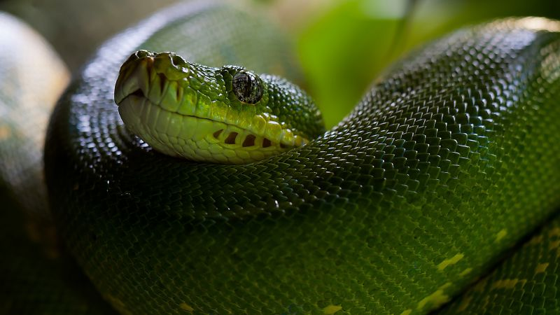 Python, Snake, Head, Scales, Green, Boa (horizontal)