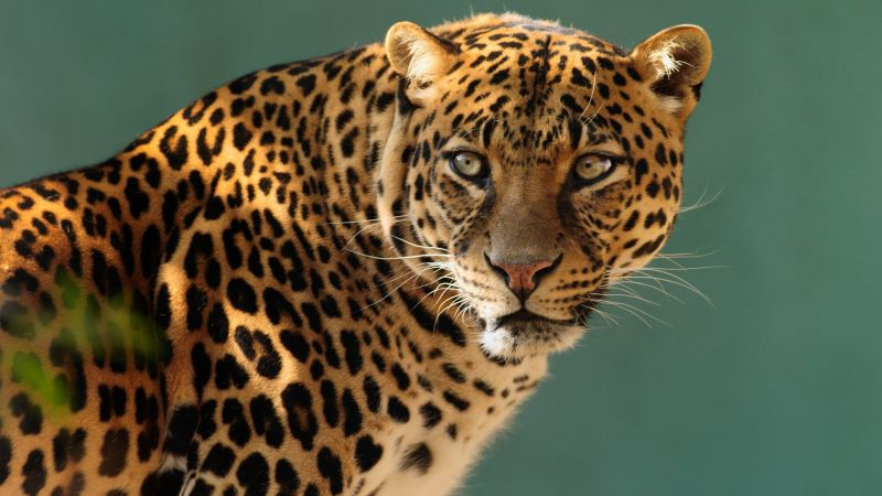 jaguar, wild, cat, face (horizontal)