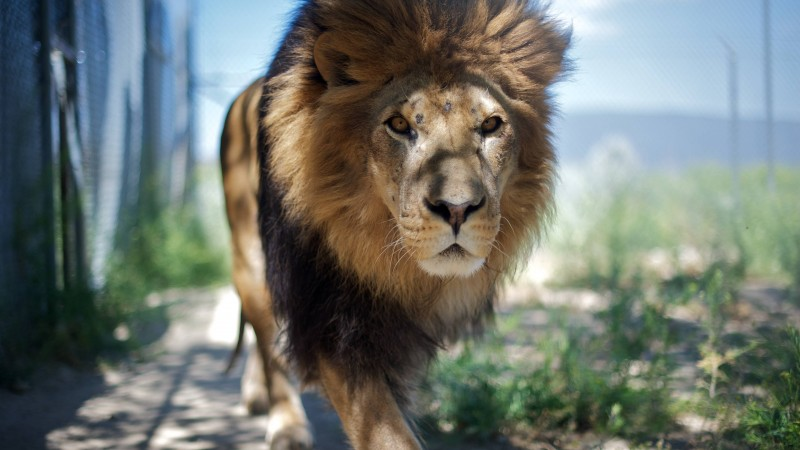 Lion, mane, step, nature, king of beasts, look, wild (horizontal)