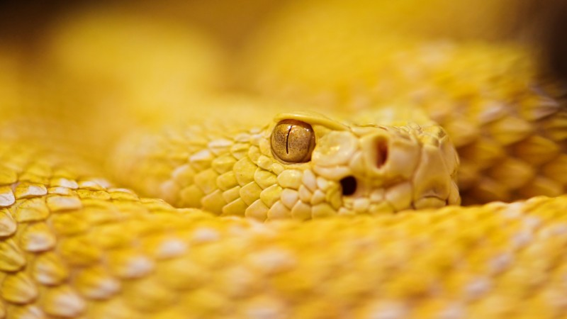 Snake, 4k, HD wallpaper, albino, rattlesnake, yellow, Eyes, reptiles (horizontal)