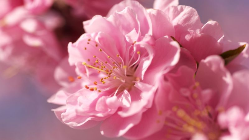 sakura, 4k, HD wallpaper, pink, spring, flower (horizontal)