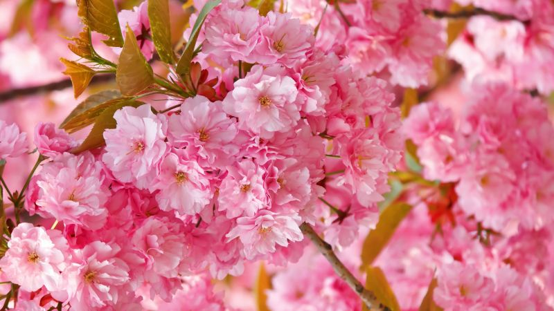 sakura, 4k, HD wallpaper, cherry blossom, pink, spring, flowers (horizontal)