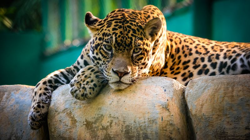 jaguar, wild, cat, sad face (horizontal)