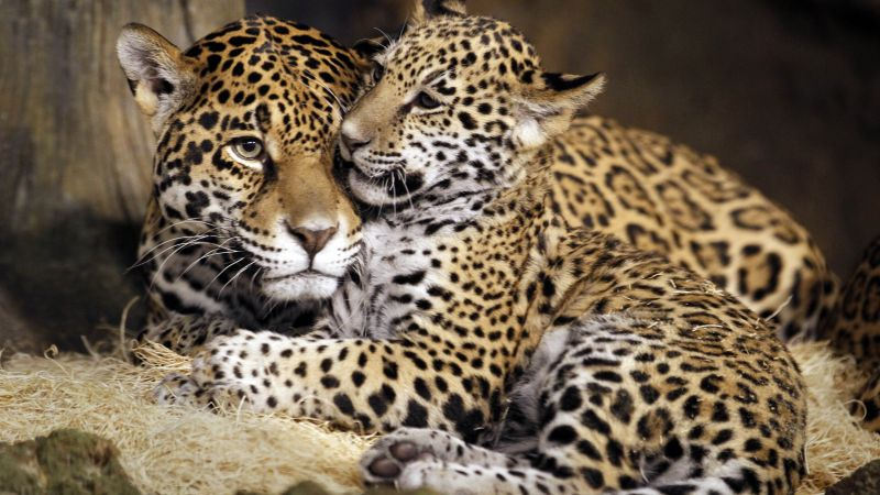 little jaguar, young jaguar, wild, cat, face (horizontal)