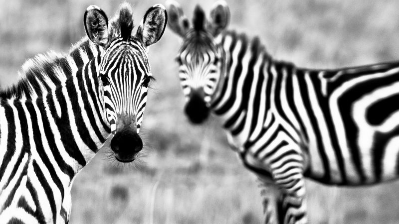 Zebra, Black & White, couple, cute animals (horizontal)
