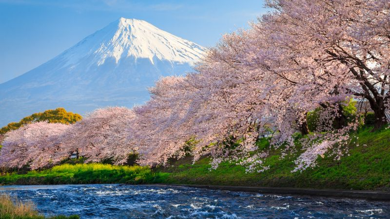 fuji, 4k, HD wallpaper, sakura, river, japan, travel, tourism, National Geographic Traveler Photo Contest (horizontal)