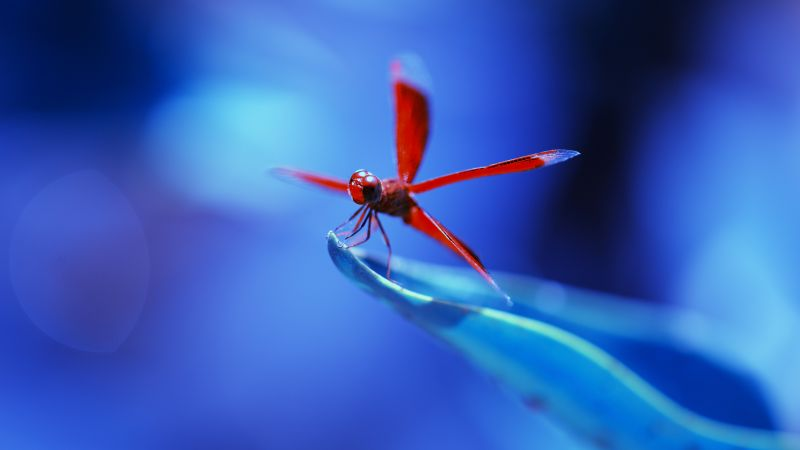 dragonfly, insects, blue (horizontal)