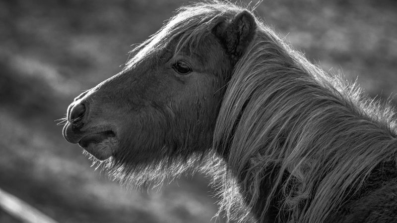 Horse, Pony, black and white (horizontal)