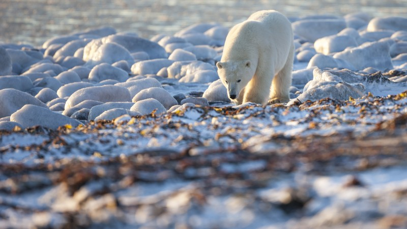 Bear, Polar Bear, Canada, shore, coast, white bear, sea, water, ocean, walk, sunny day (horizontal)