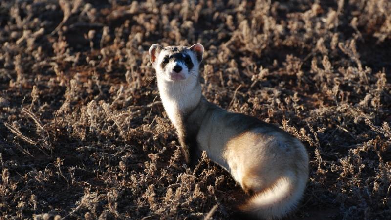 Wallpaper Ferret  Look  Sunny Day  Soft Fur  Animal  Animals  1057
