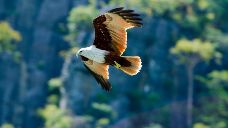 eagle, flight, wingspan, wings, bird, look, nature, animal (horizontal)