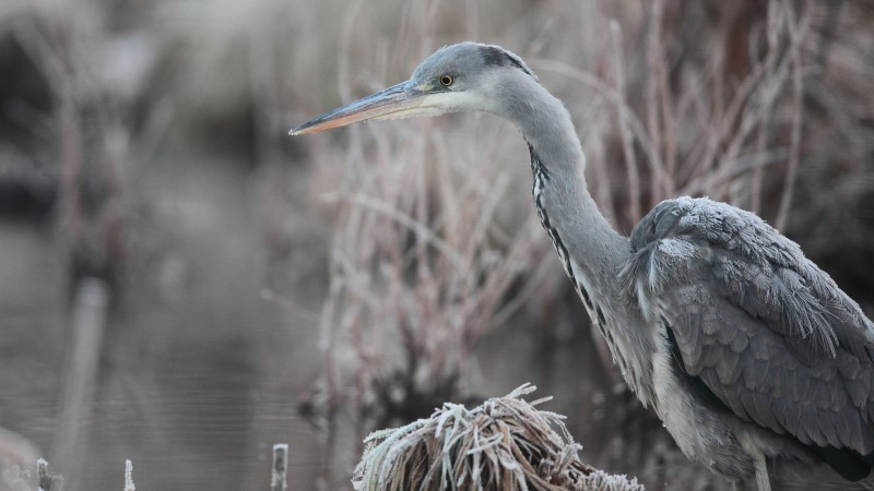 Bird, 5k, 4k wallpaper, Hungary, Eastern Europe, grey, heron, pond, frost, Wildlife (horizontal)
