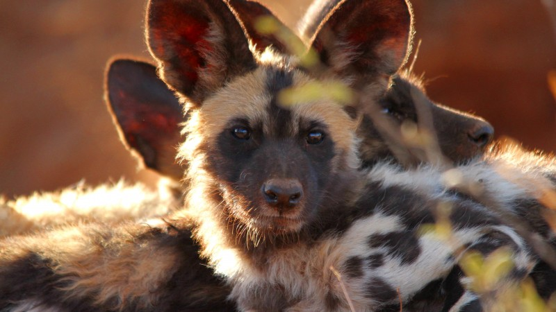 Wild dog, look, eyes, predator, fur, nature, animal (horizontal)