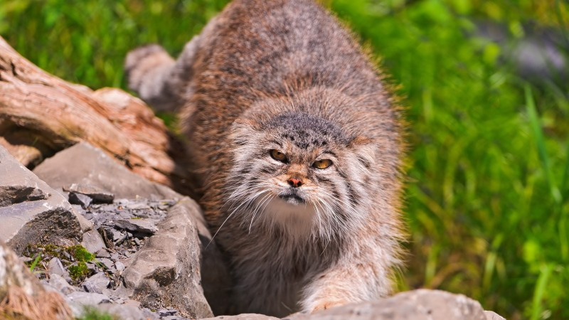 Pallas cat, wild cat, walk, green grass, stones, fluffy, sunny day (horizontal)
