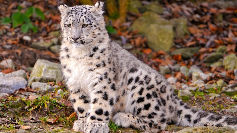 Leopard, snow leopard, sitting, watch, ground, nature, stones, cute (horizontal)