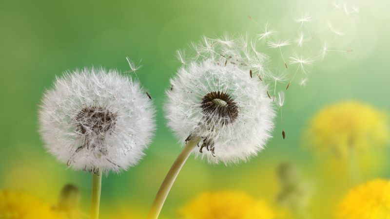 dandelion, 4k, HD wallpaper, flower, nature (horizontal)