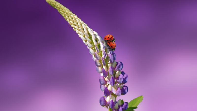 ladybird, 5k, 4k wallpaper, 8k, flowers, summer (horizontal)