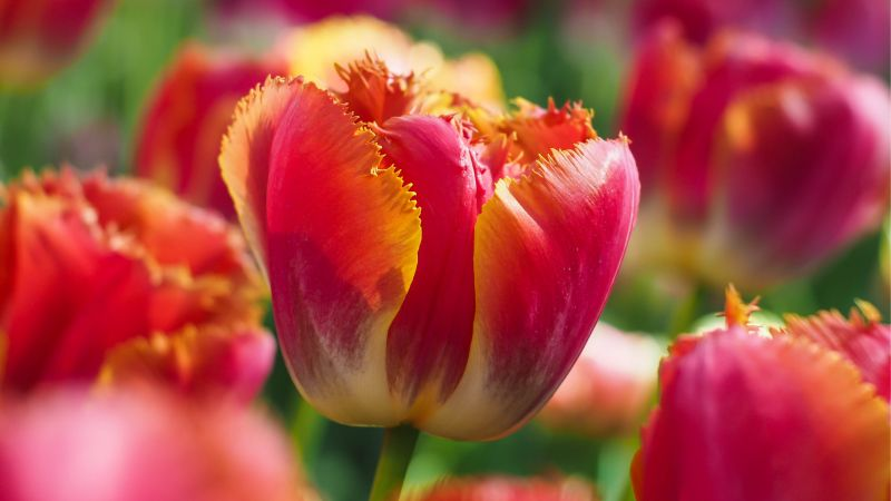 Tulips, flowers, 4k, 5k, android wallpaper, red, green (horizontal)