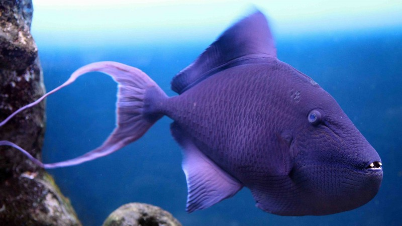 Grey triggerfish, Atlantic, Nova Scotia, Argentina, Mediterranean Sea, west coast of Africa, diving, tourism, purple fish, underwater, blue (horizontal)