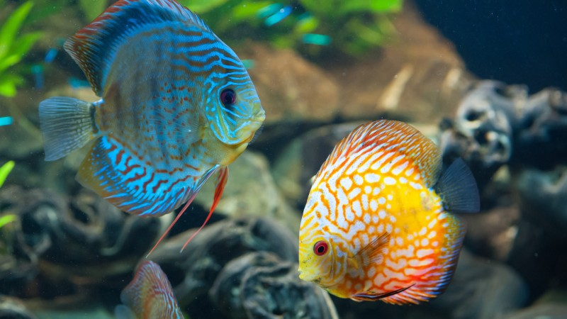 Discus, exotic, aquarium, fish, close up, water, blue, orange, World's best diving sites (horizontal)