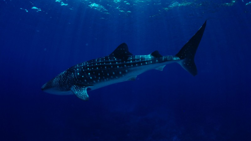 Philippines, South China Sea, Sharks, Whale Sharks, tourism, diving, underwater, blue sea, World's best diving sites (horizontal)