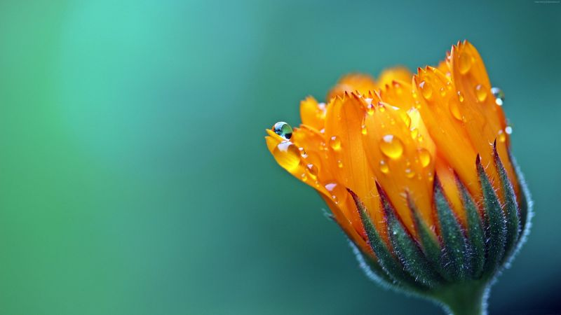 Сalendula Marigold, 5k, 4k wallpaper, Flower, drop, macro (horizontal)