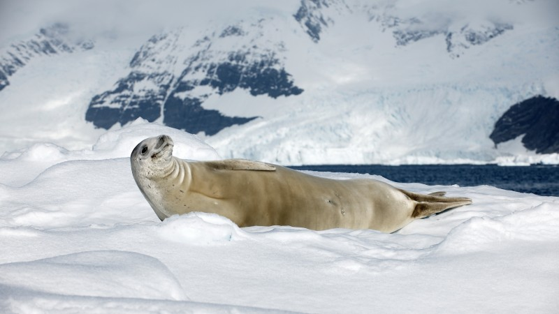 Crabeater seal, sea calf, Antarctica, snow, sunny day, animal, smile (horizontal)