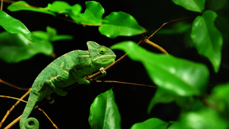 Chameleon, Madagaskar, rain-forest, green, leaves, eyes, black background (horizontal)
