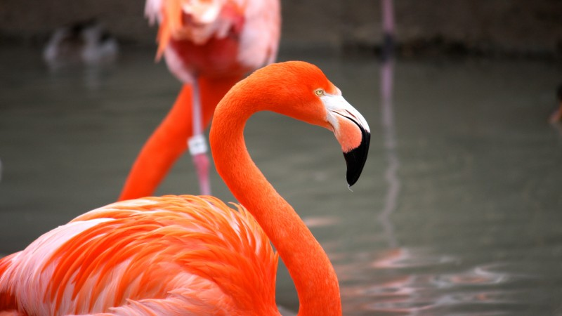 Flamingo, Sun Diego, zoo, bird, red, plumage, tourism, pond (horizontal)