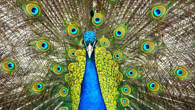 Peacock, feathers (horizontal)