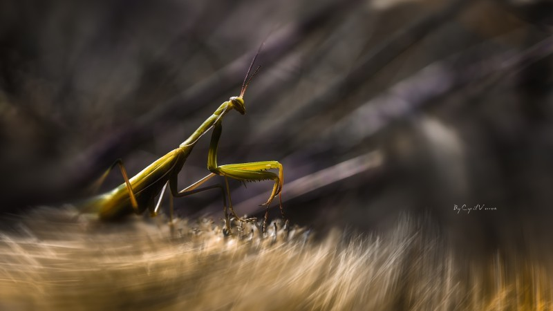 Mantis, insects, macro, motion, green, art, grass (horizontal)