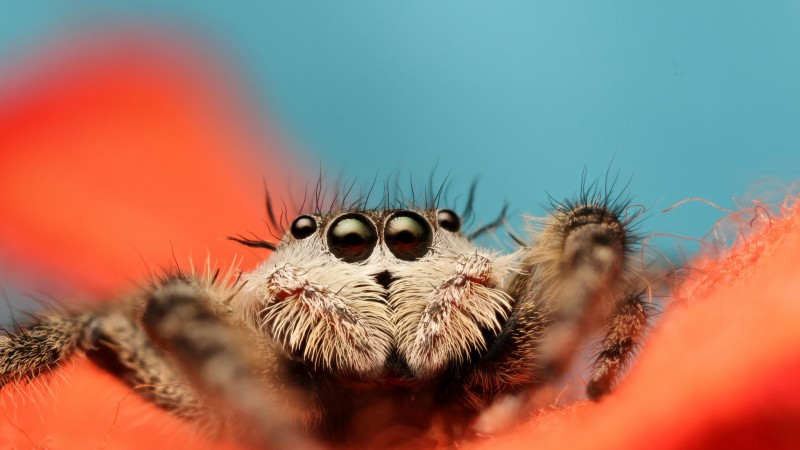 Jumping Spider, 5k, 4k wallpaper, 8k, macro, black, eyes, blue, orange, insects, cute, arachnid (horizontal)