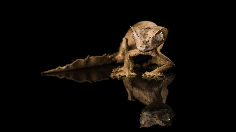 Tiger Gecko, reflection, black background, reptile, eyes, gray (horizontal)