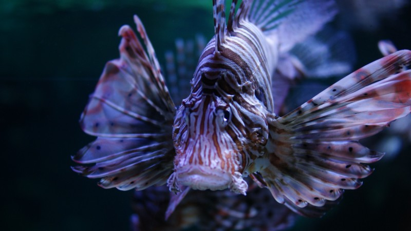 Lionfish, 5k, 4k wallpaper, Budapest, Tropicarium, Oceanarium, aquarium, water, underwater, purple, fish, tourism, diving, World's best diving sites (horizontal)