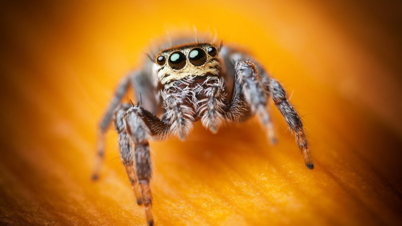 Jumping Spider, macro, black, eyes, yellow, insects, arachnid, cute (horizontal)