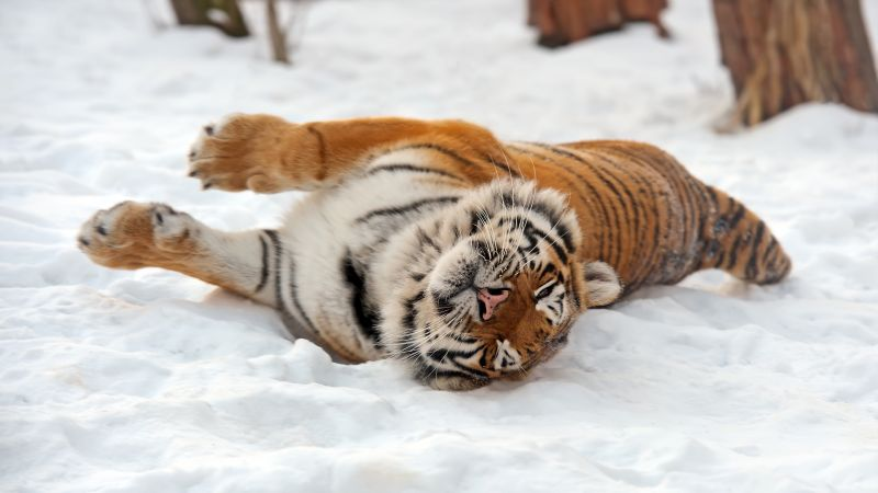 Tiger, wild, animal (horizontal)