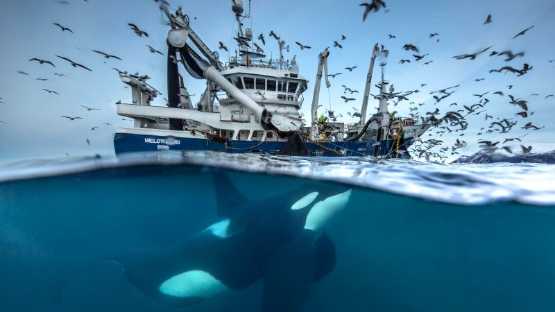 2016 Wildlife Photography finalist, whale, boat, birds, Norway, Ocean, underwater (horizontal)