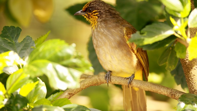 Stripe Throated Bulbul, Cambodia, China, Laos, Malaysia, Burma, Thailand, bird, green, tree, sunny day, bird, nature, tourism (horizontal)