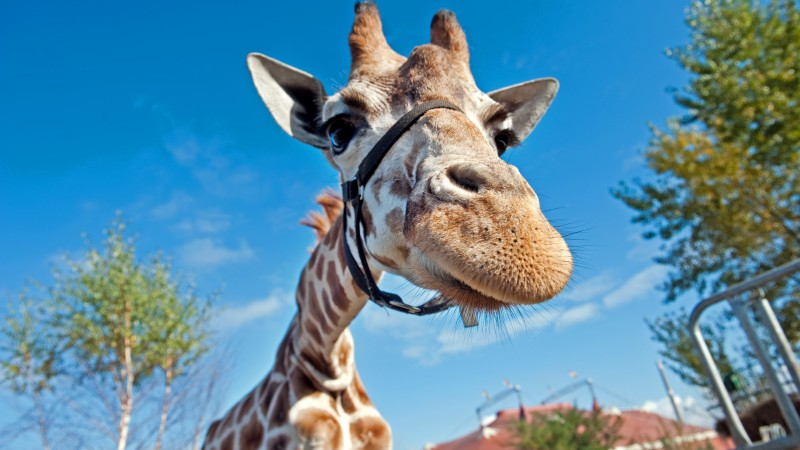 Giraffe, Berolina Circus, Berlin, Germany, blue sky, circus, funny, close-up, tourism (horizontal)