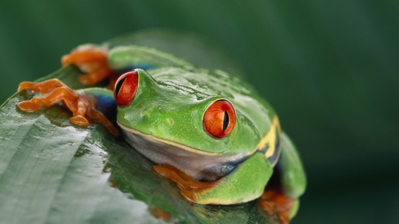 Tree frog, Costa Rica, green, orange, tropical, exotic, travel, tourism, frog, poison (horizontal)
