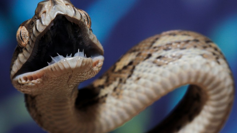 Coastal carpet python, Australia, teeth, tourism, eyes, angry, attack, animal, reptile, blue, grey, brown, snake (horizontal)