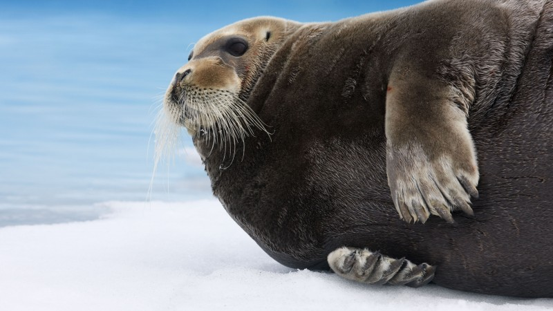 Bearded Seal, Arctic, Pacific, Ocean, Hudson Bay, ice, blue, white, water, tourism (horizontal)